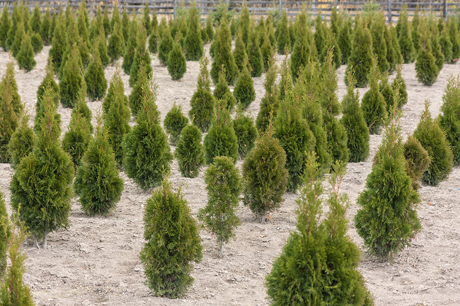 BigTreeSupply.com: Monitoring the Growth of Your Tree