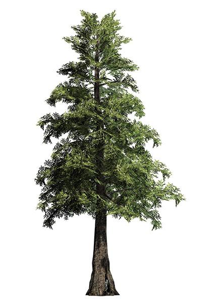 Big Trees Inc. Transplants 30 Foot Western Red Cedar Tree