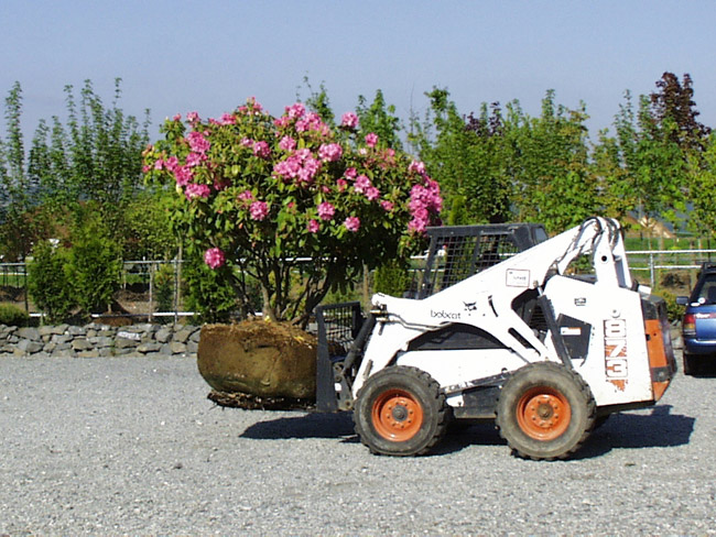 Big Trees Inc. Salvages Large Rhododendrons from a Local Property