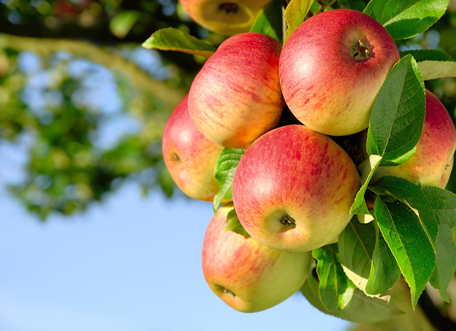 Big Trees Inc. Transplanted Large Fruit Trees in Central Washington