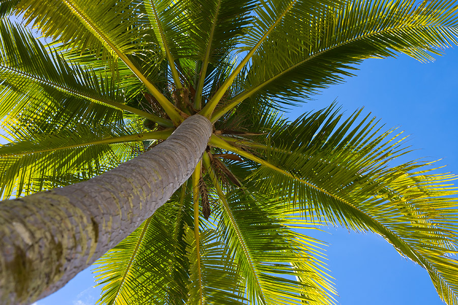 Big Trees Inc. Helps Transplant Large Palm Trees