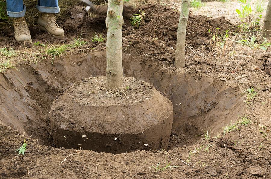 Can I Still Plant a Tree this Summer?